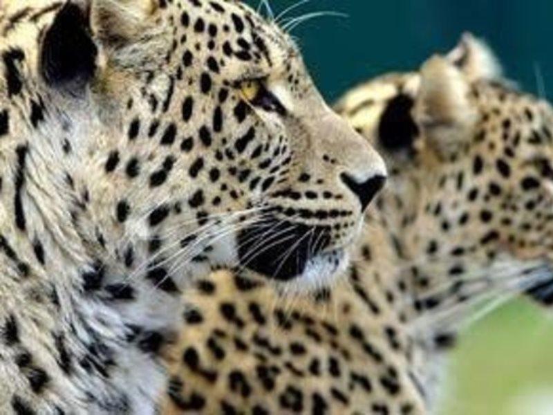 Леопардам, которых выпустят в дикую природу, дали осетинские имена