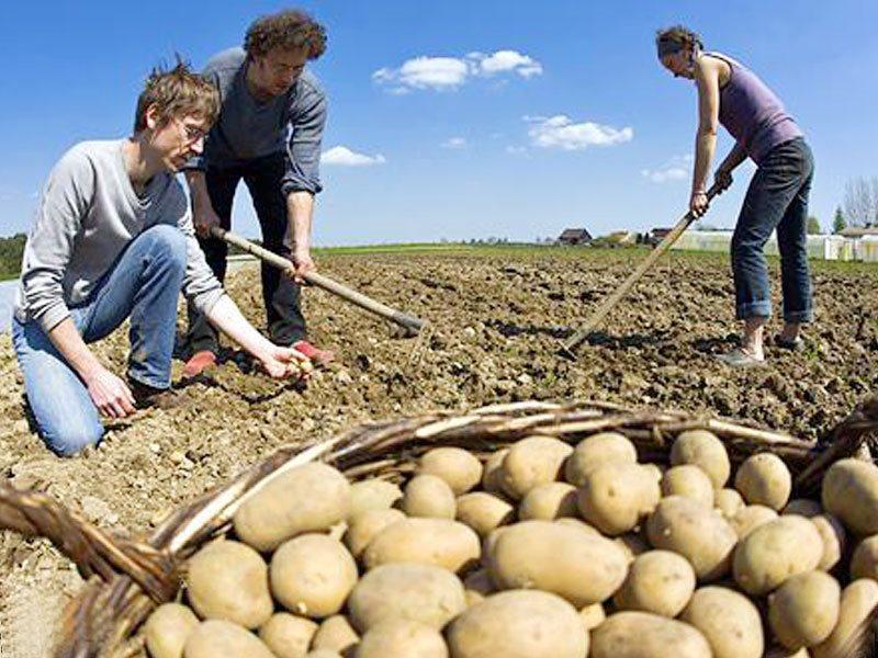 обычное теплое сон собирать в мешок картошку обратите